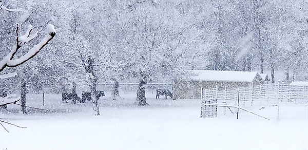Snow scene with trees and livestock
