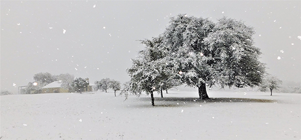 Snow scene with large tree and snow falling